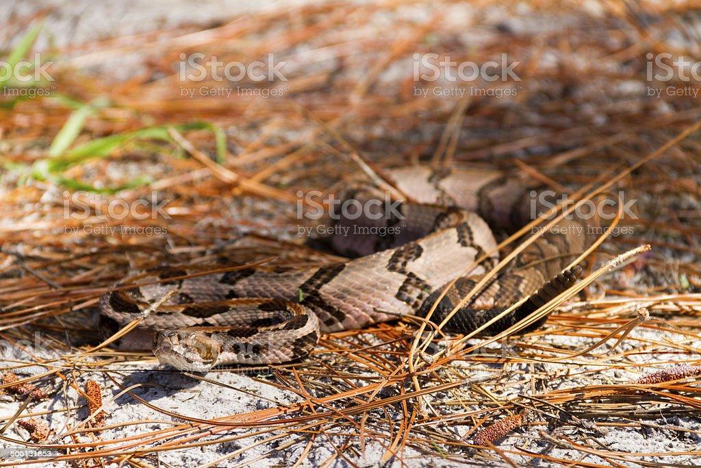 Slithering Timber Rattlesnake stock photo
