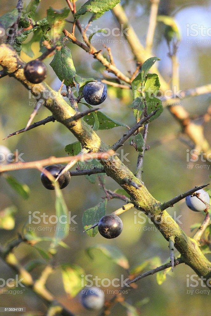 Sloe berries growing on hedgerow tree / blackthorn fruit (Prunus spinosa) stock photo