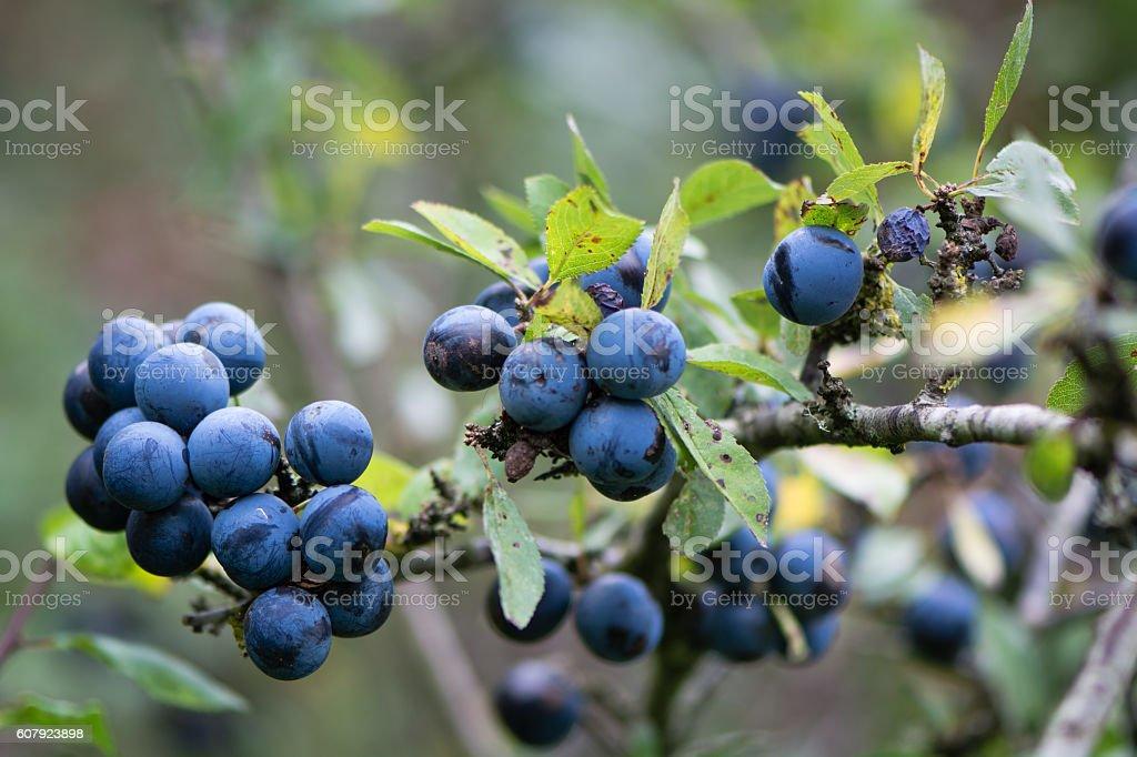 Sloe berries on blackthorn (Prunus spinosa) stock photo