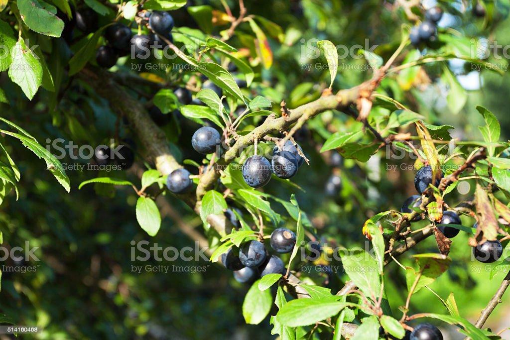 Sloes berries stock photo