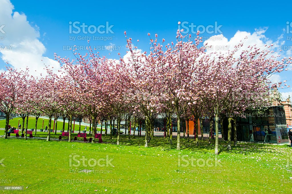 Sloped Lawn & Japanese Cherry Trees, the Netherlands. stock photo