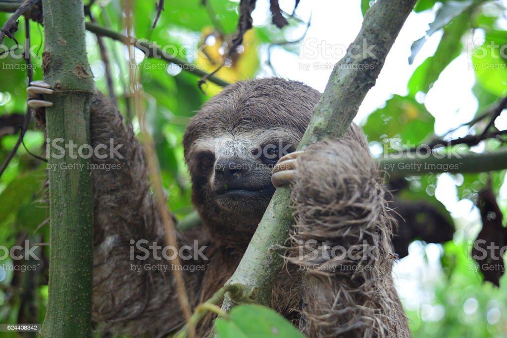 Sloth at the Amazon jungle stock photo