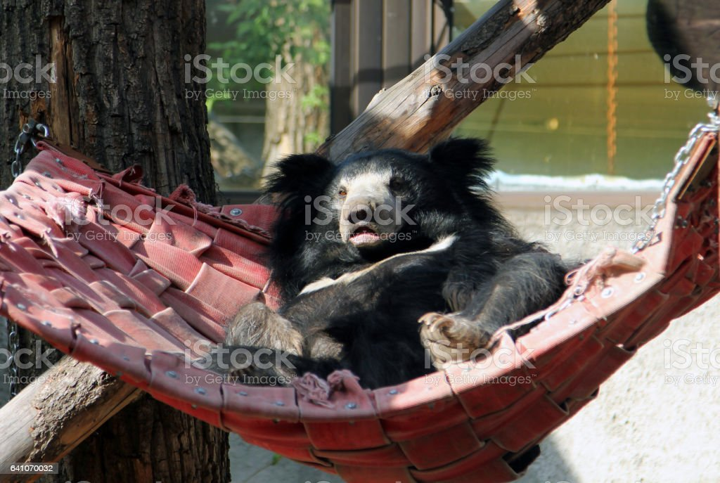 Sloth bear (Melursus ursinus) resting in a hammock stock photo