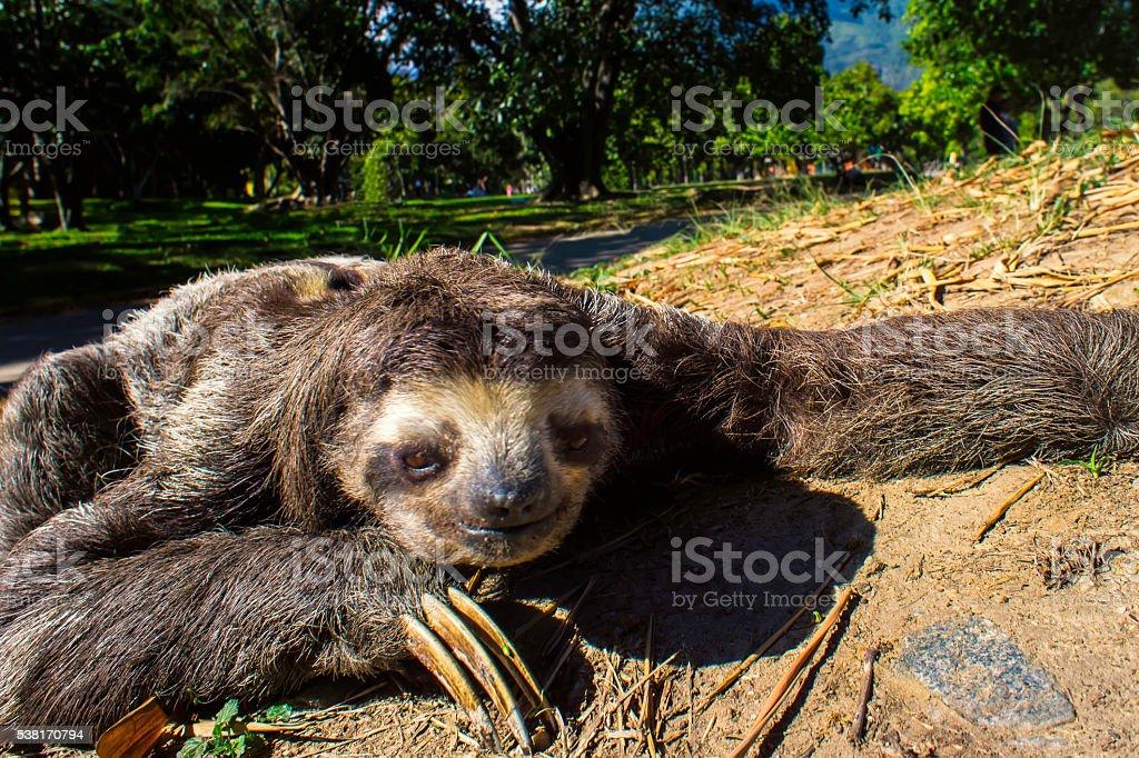 Sloth Crawling through park stock photo