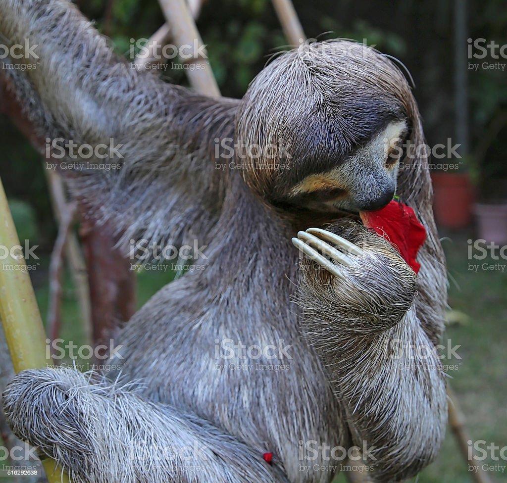 Sloth eating Hibiscus flowers stock photo