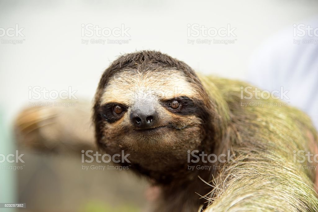 Sloth in a tree stock photo