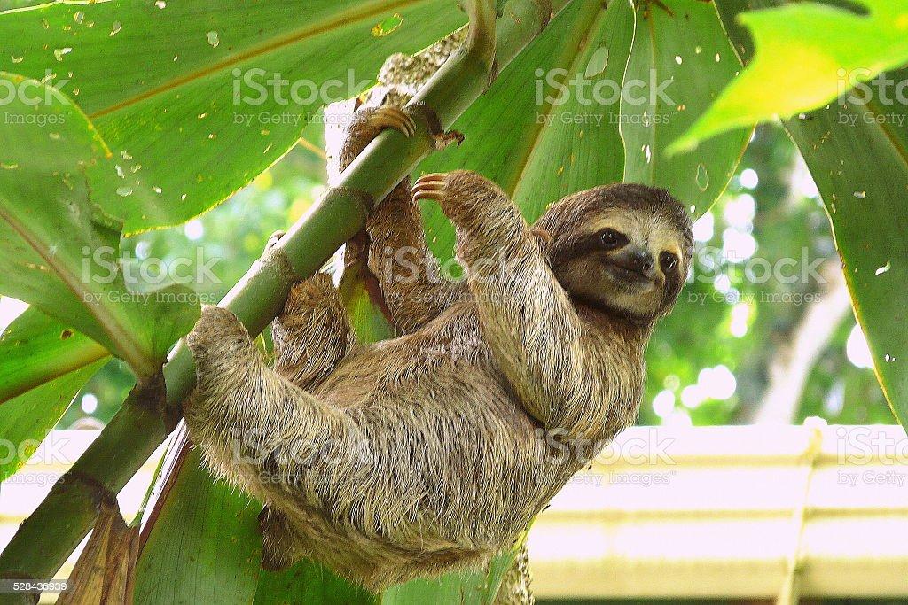 Sloth in Puerto Viejo, Costa Rica. stock photo