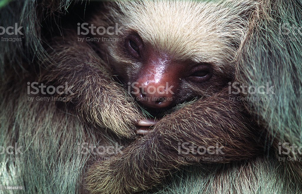Sloth infant royalty-free stock photo