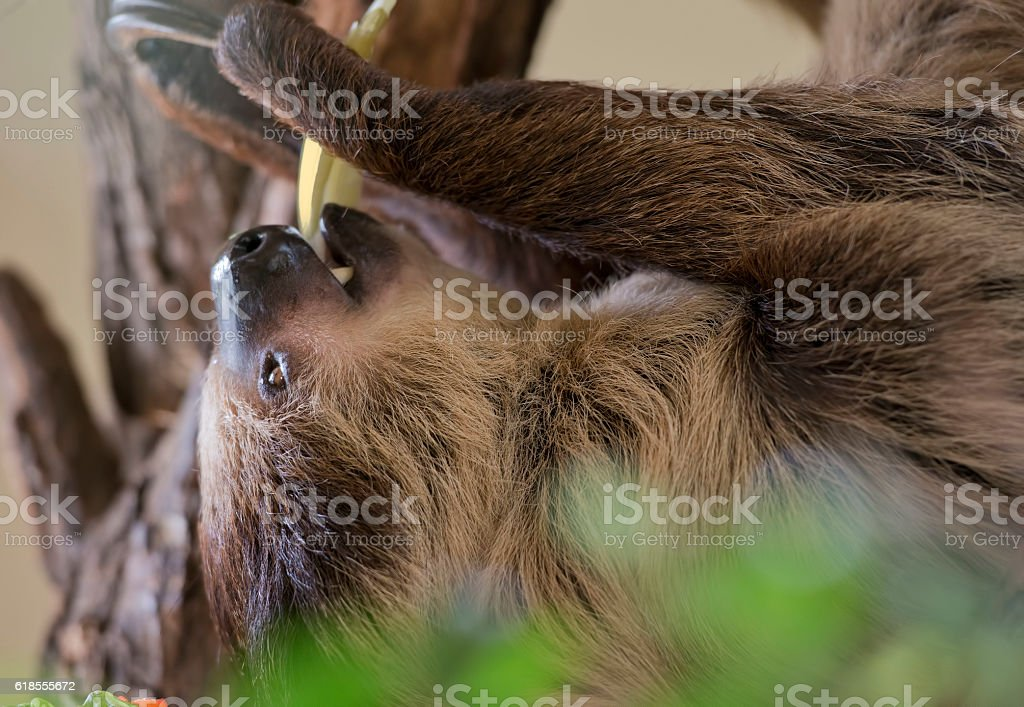 sloth (animal) stock photo