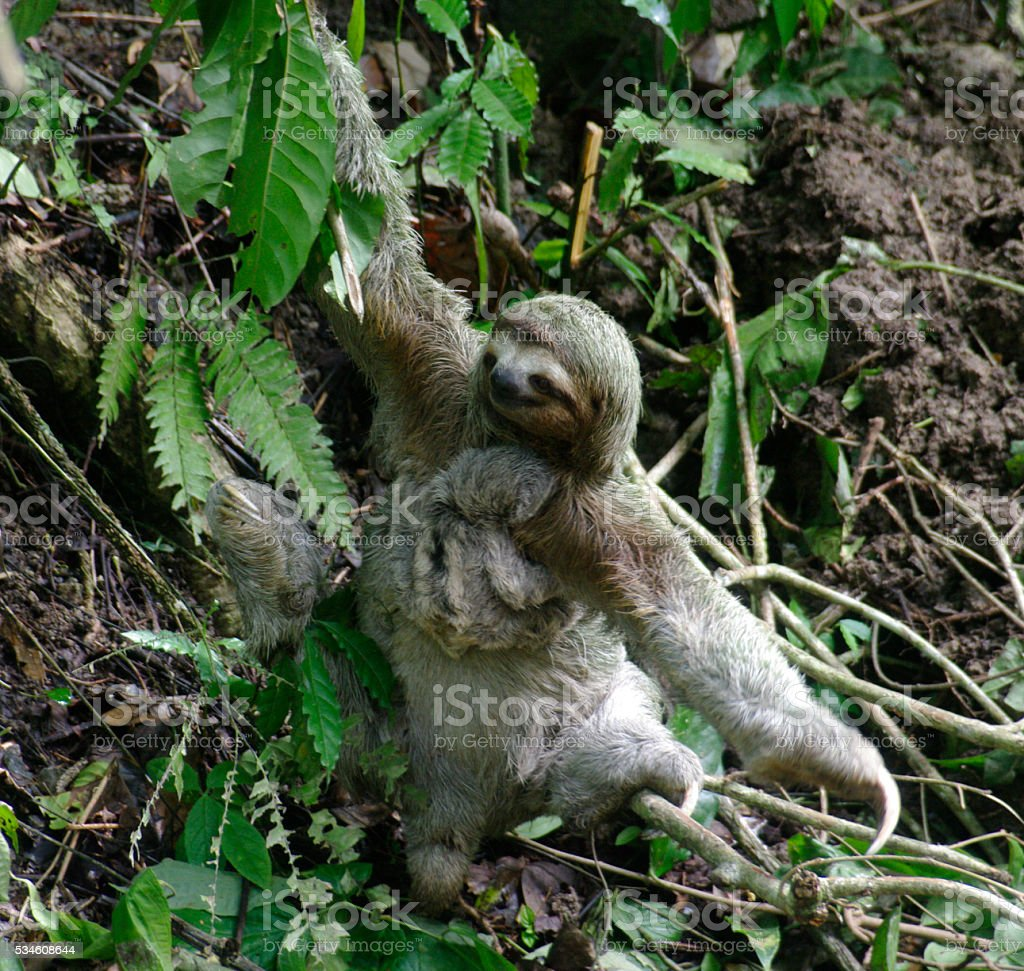 Sloth with Baby stock photo
