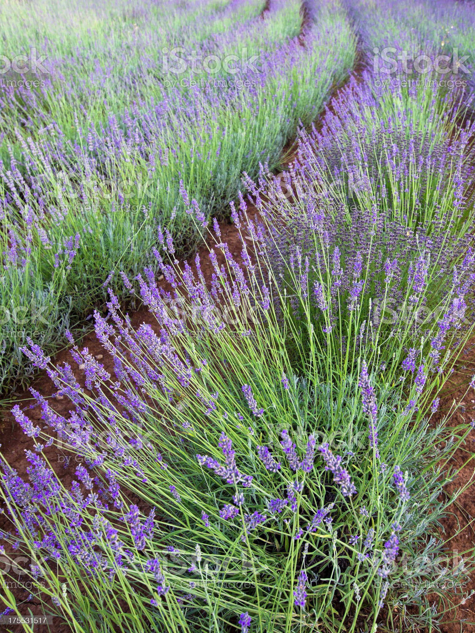 Slovenian lavender field exuding color royalty-free stock photo