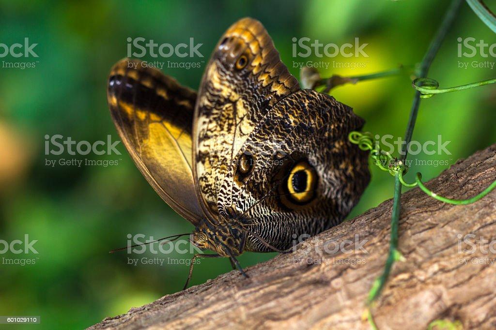 Tropical butterfly caligo owl on the tree. Macro photografie of...
