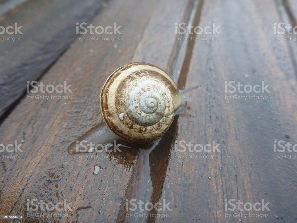 Slow Moving Snail Crawling Along a Wooden Deck stock photo