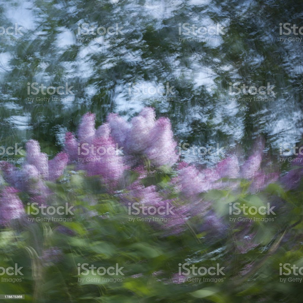 Slow shutter speed on lilac royalty-free stock photo
