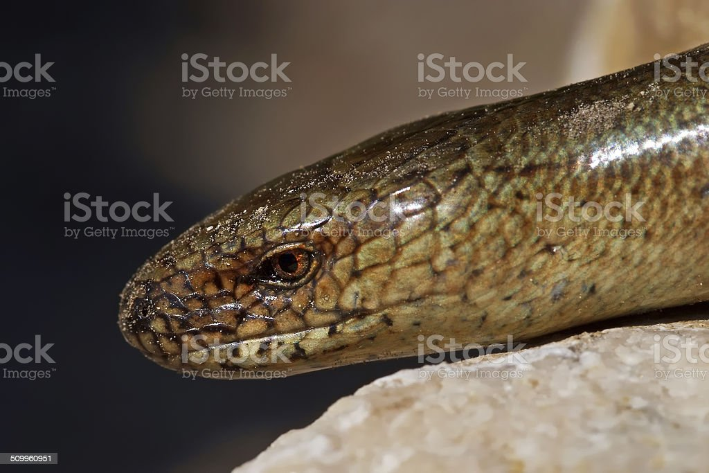 Slow worm Anguis colchica on lime rock. stock photo
