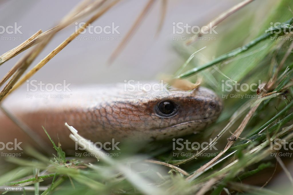 Slow worm close up on leaves stock photo