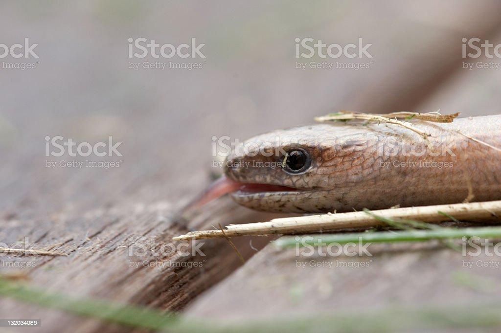 Slow worm close up stock photo