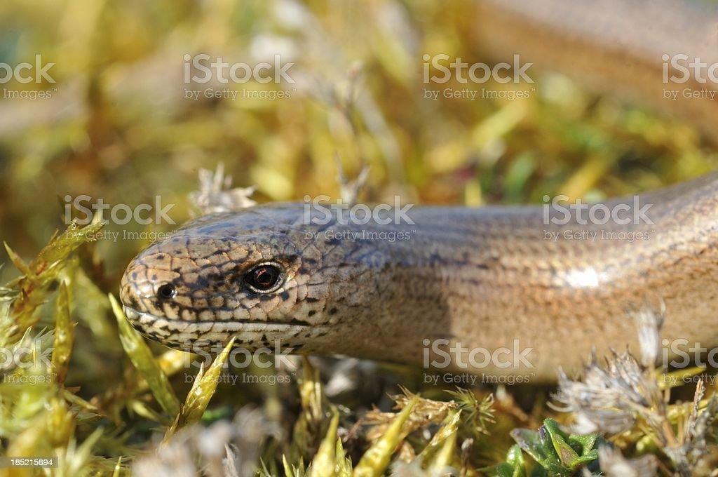 Slow Worm close-up stock photo