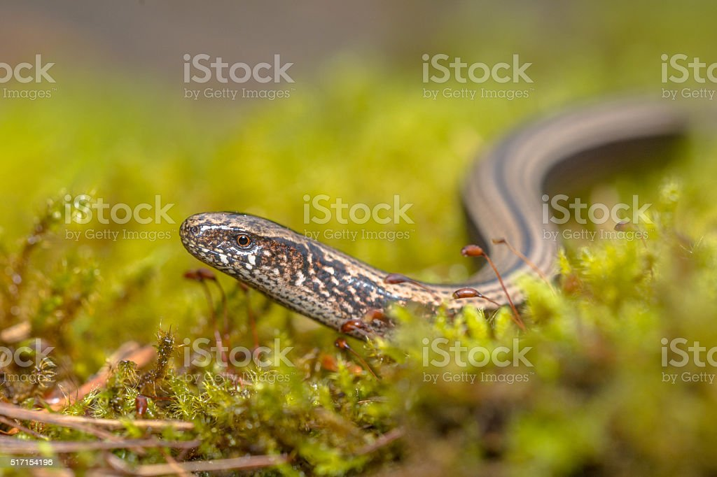 Slow worm creeping on moss stock photo