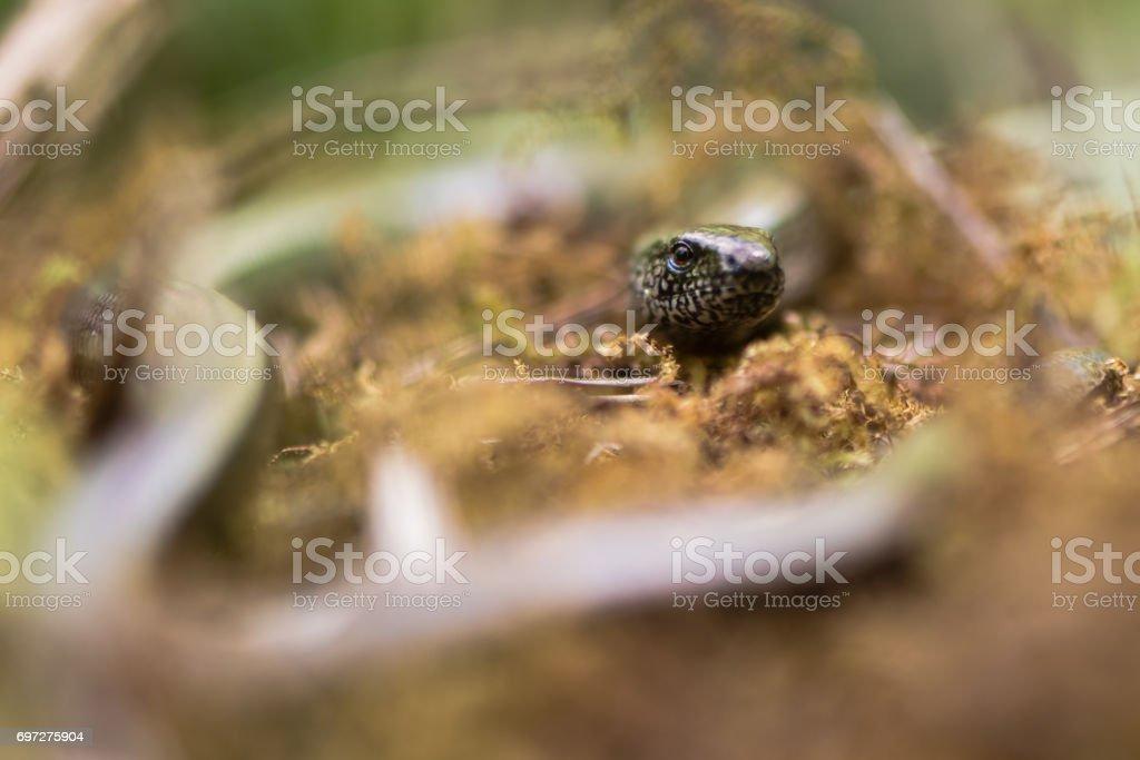 Slow worm (Anguis fragilis) head and eye stock photo