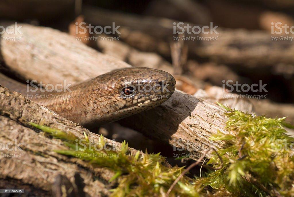 Slow Worm Head shot stock photo