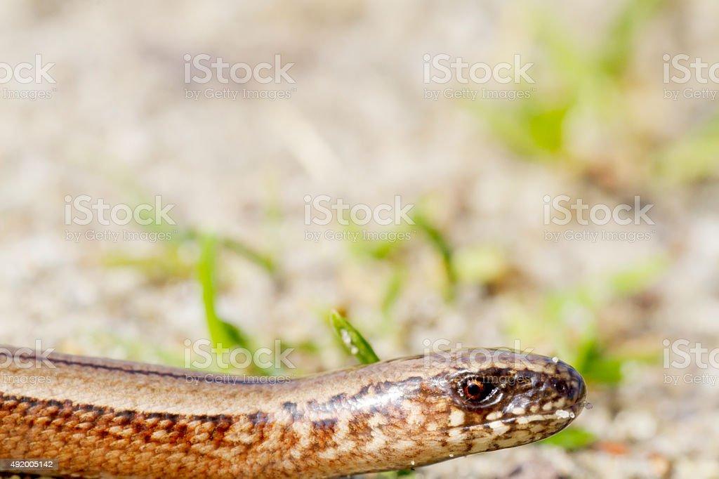 Slow Worm (Anguis fragilis) Juvenile stock photo