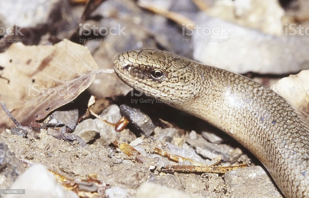 Detail of a Slow Worm (Anguis fragilis) Male royalty-free stock photo