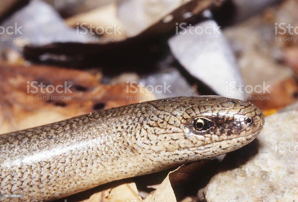 Slow Worm (Anguis fragilis) Male detail stock photo