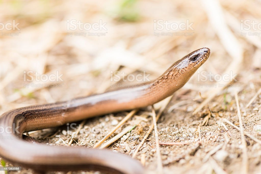 Slow Worm on dirt ground stock photo
