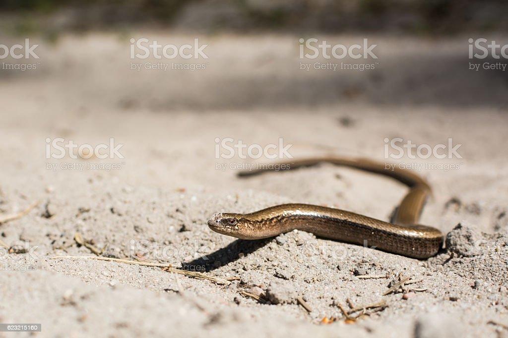 Slow worm on hot sand. stock photo
