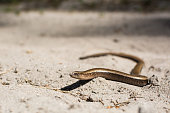 Slow worm on hot sand.