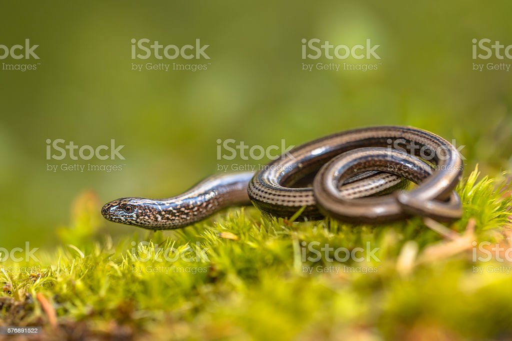 Slow worm on moss stock photo