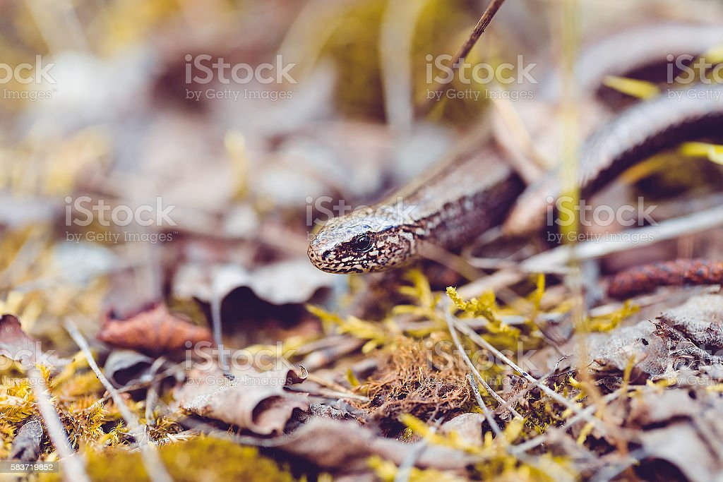 Slow Worm or Blind Worm, Anguis fragilis stock photo