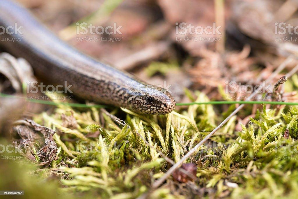 Slow Worm or Blind Worm, Anguis fragilis stock photo