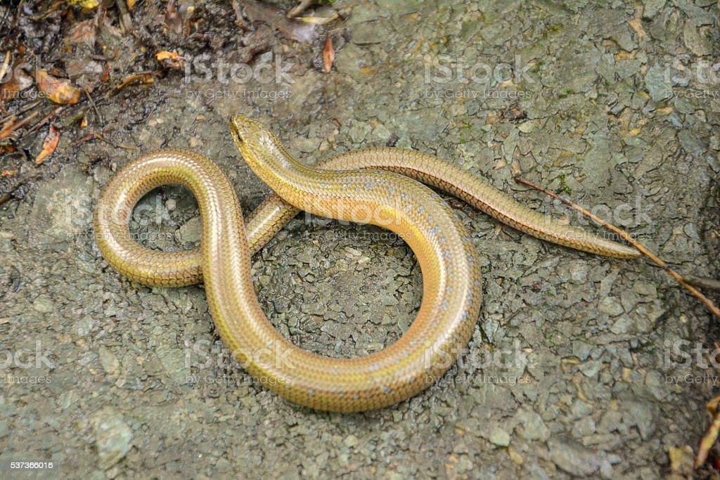 Slow worm (Anguis colchica) stock photo