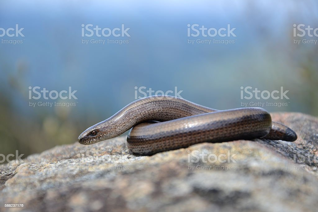 Slow worm (Anguis colchica) stock photo