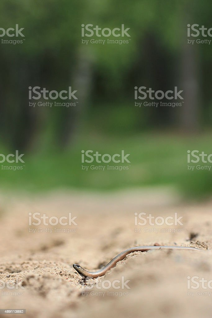 slow worm reptile stock photo