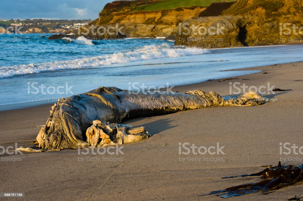 Slowly Rotting Remains of a Washed Up Pilot Whale on Spit Beach, Cornwall stock photo