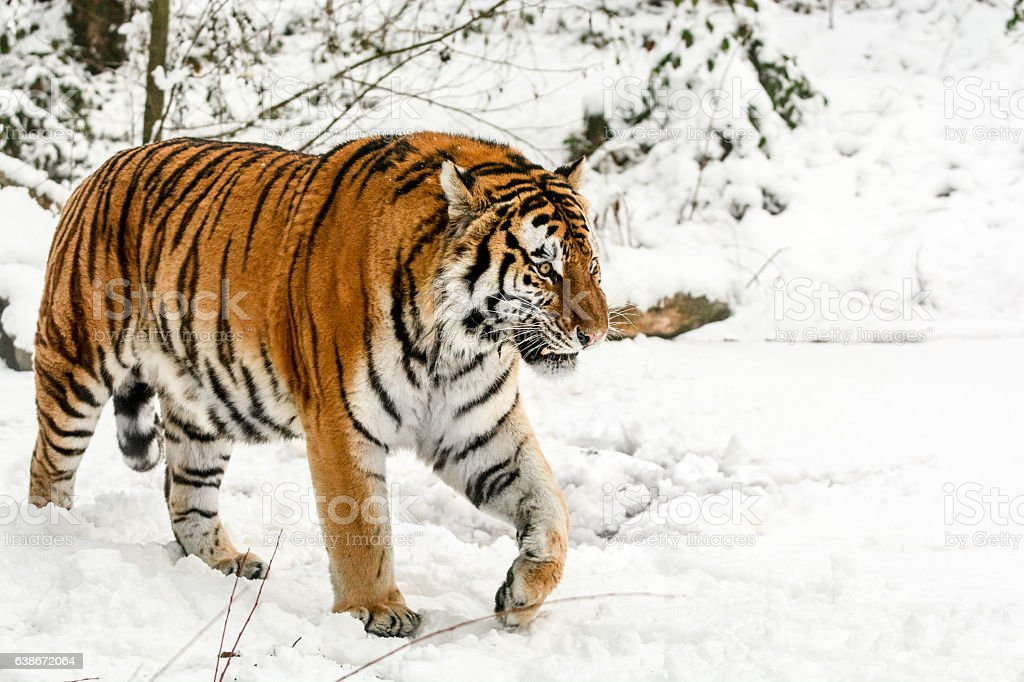 Slowly walking Siberian tiger in snow stock photo