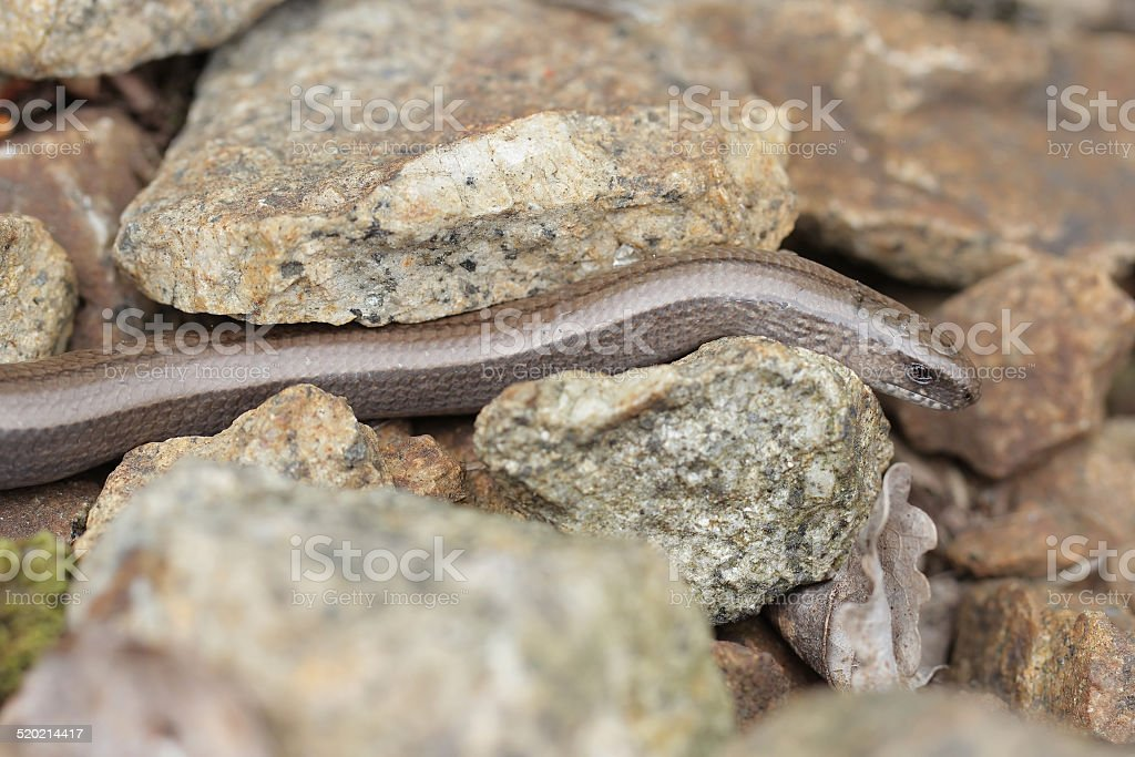 Slowworm, Anguis fragilis stock photo