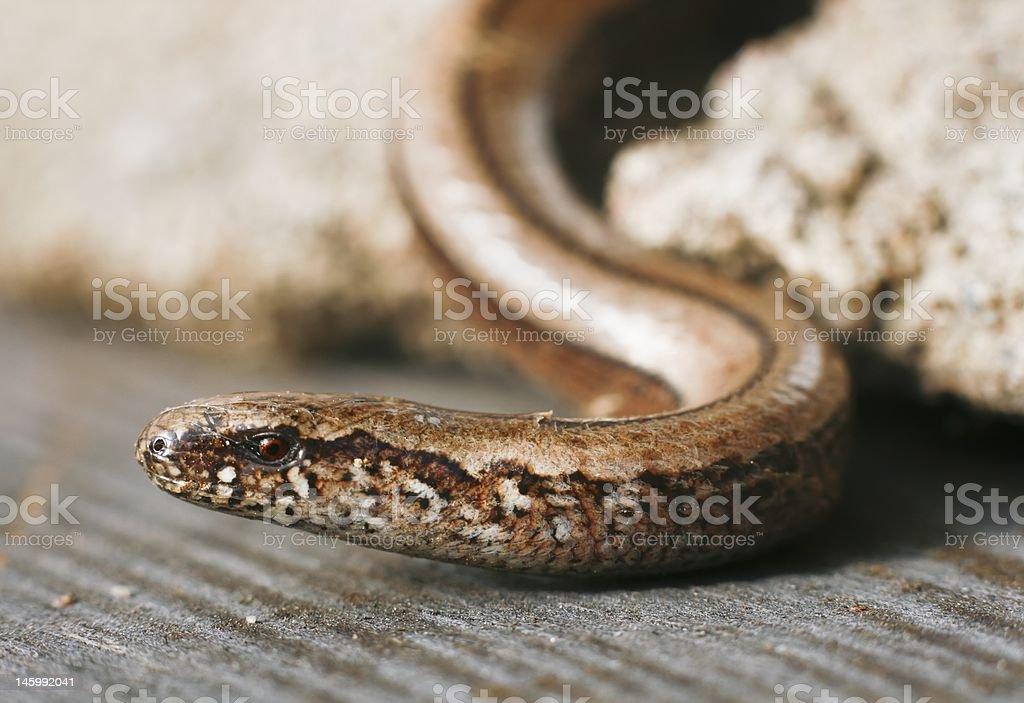 Slow-worm stock photo