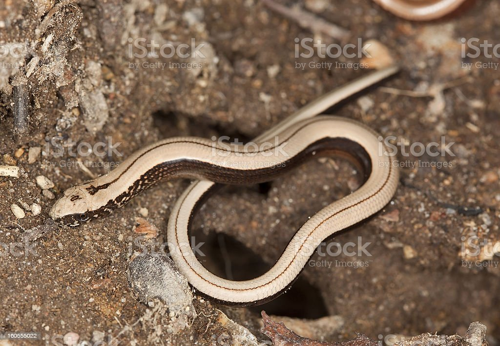 Slowworm (Anguis fragilis) stock photo