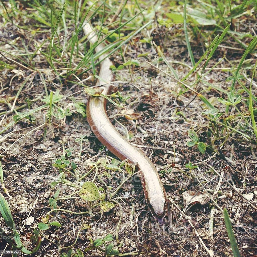 Slow-worm. stock photo