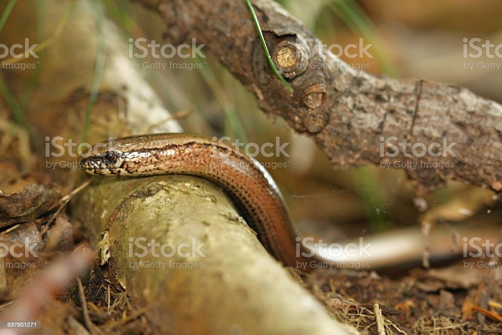 slow-worm stock photo