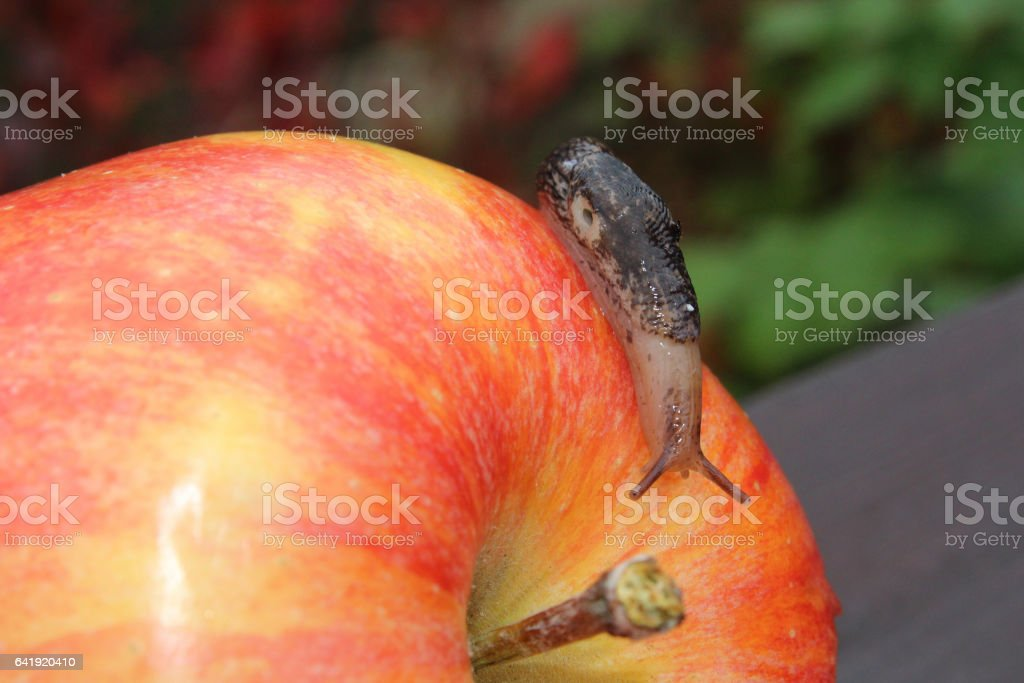 Slug Crawling Over a Red Apple stock photo