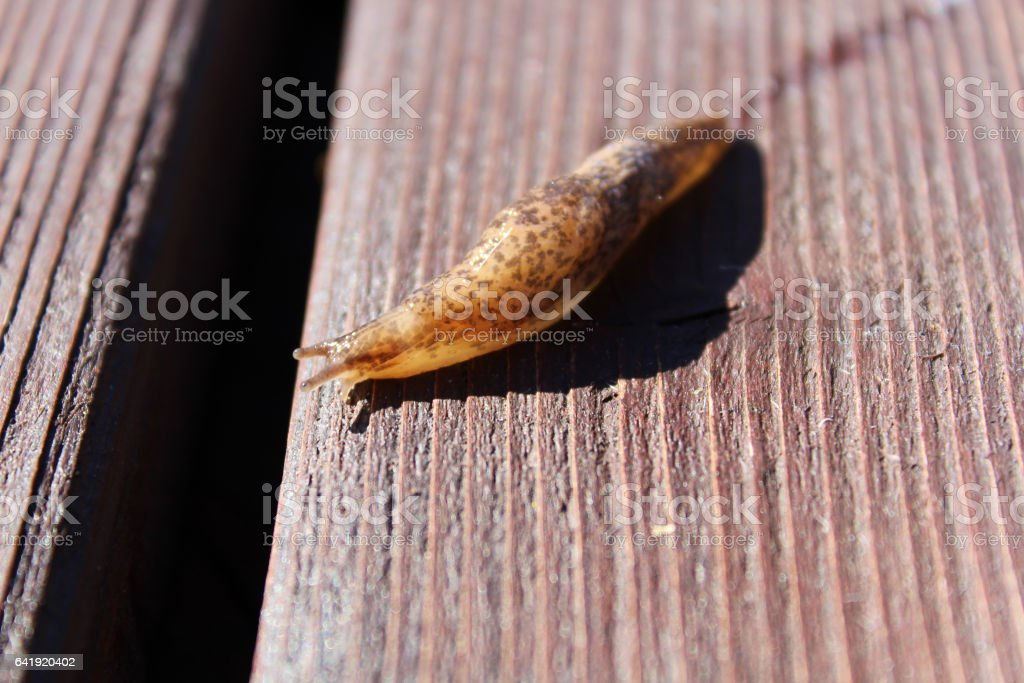 Slug Crawling over Wood with Slime Trail stock photo