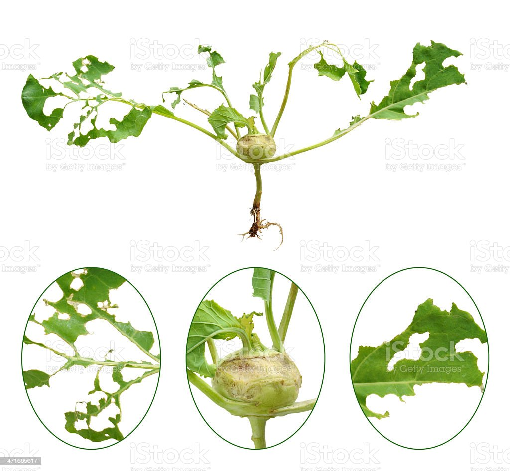 Slug damage of green kohlrabi, isolated stock photo