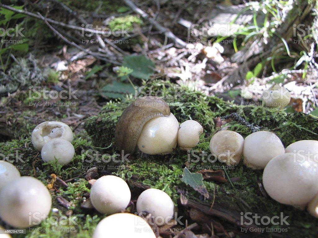 Slug. Eating Fungi stock photo