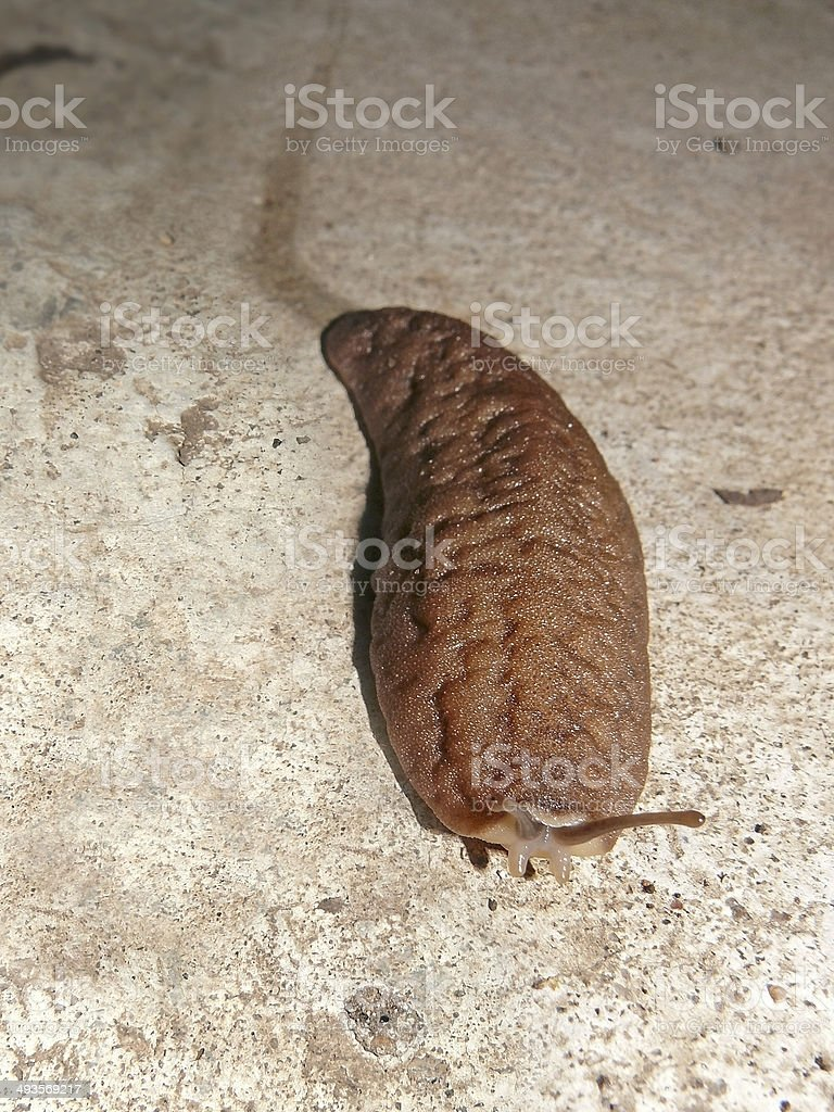 Slug, Mollusc, Gastropod without a shell royalty-free stock photo