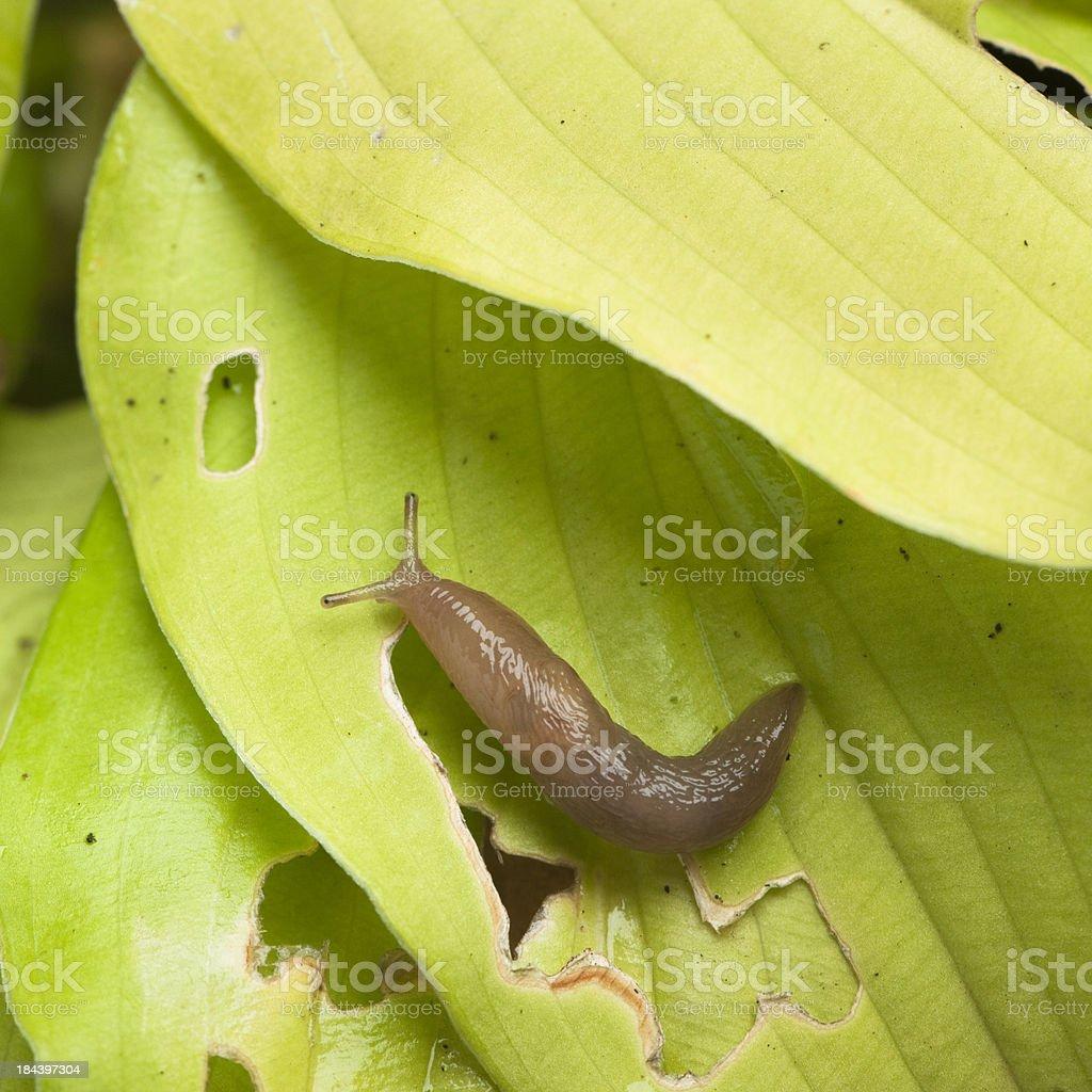 Slug on damaged hosta leaf stock photo